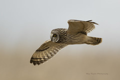 Short Eared Owl (raytaylor77) Tags: select