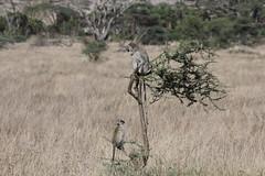 Vervet Monkeys on a Dead Tree