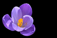 crocus on black (C-Smooth) Tags: flowers flower macro nature fleur garden petals spring flora nikon purple blumen crocus lilac fiore lilla blooming 2015 krocus csmooth d3100 stefanocabello
