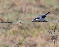 fence sebastian florida barbedwire loggerheadshrike larder butcherbird naturethroughthelens andymorffew morffew