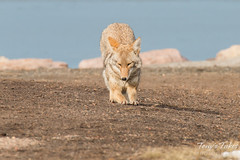 Female coyote does her morning stretches