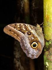 Caligo idomeneus idomeneus 5 (K. Zyskowski and Y. Bereshpolova) Tags: brazil amazonas caligo nymphalidae satyrinae yavari javari brassolini idomeneus palmari brassolinae