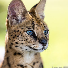 20150222 5DIII Panther Ridge 308 (James Scott S) Tags: wild cats canon scott james big feline dof unitedstates florida conservation s center ridge ii wellington l cheetah fl jaguar panther 70200 f28 ef lr5 5diii