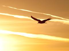 TV Sunrise (Dale Hameister) Tags: sunrise river salinas montereycounty vulture turkeyvulture nwp salinasrivernationalwildliferefuge