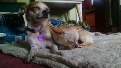 Hazel likes him better this way. (EllenJo) Tags: dog pet chihuahua simon digitalimage postop february23 2015 postvet ohsimon simongotneutered