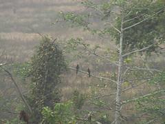 Hornbills Khao Yai Thailand