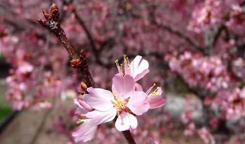 Cherry (or something) blossom, Elberton, GA