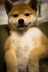 Yotsuba365 Day39 (Tetsuo41) Tags: dog shibainu yotsuba