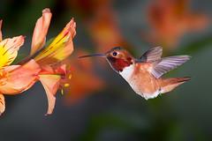 The World Needs a Little Beauty (Patricia Ware) Tags: california canon backyard tripod birdsinflight fullframe manhattanbeach allenshummingbird selasphorussasin multipleflash specanimal ef500mmf4lisusm httppwarezenfoliocom 2016patriciawareallrightsreserved