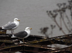 23_07_2016_1204 (andysuttonphotography) Tags: lesser black backed gull larus fuscus herring argentatus steep holm bird island nature wildlife sea bristol channel