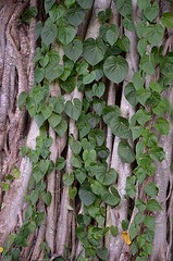 Kudzu climbing to the tree tops! (jungle mama) Tags: kudzu ine airpotato vine leaf cascade climb tropicalvine