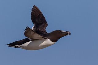 Flying Razorbill - Alca torda - Petit Pingouin - Machias Seal Island