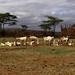 Goats resting, Borana