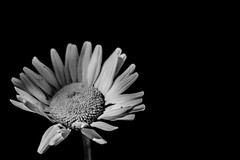 Perfectly Imperfect (Marc Filice) Tags: flower floral flowers nature wild bloom canon canada ontario colour black life new beginning t3i outdoors petal macro beauty beautiful quiet silence elegant outdoor photo morning dawn mist still summer sunny dew daisy daisies plant white monochrome