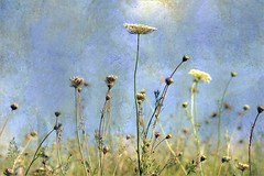I've done some weeding....... (me*voilà) Tags: flowers summer texture weeds meadow onblue
