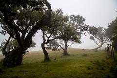 Fanal V (Signorina Z) Tags: fanal madeira laurisilva lorbeerwald lorbeerbaum natur nebel mist fog nature forest wood landscape bay tree
