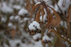 ckuchem-1155 (christine_kuchem) Tags: beeren blten efeu efeubeeren eiskristalle frost garten kristalle nahrung naturgarten samenstnde stauden vogelnahrung vogelschutz vgel wildgarten winter wintergarten winternahrung naturbelassen naturnah natrlich reif schnee berzogen