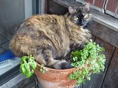 Willow in the herb pot (Philosopher Queen) Tags: cat chat herbs kitty tortoiseshell willow gato basil flowerpot sortie parsley