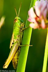 Grasshopper (markus.jacobs1899) Tags: macro nature closeup insect tiere nikon wildlife natur grasshopper makro insekt  insekten  wildtiere  nikkormicro105mm d700