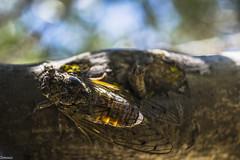 Summer singer (Siminis) Tags: summer cicada insect greece crete singer summertime heraklio summeringreece siminis summersinger