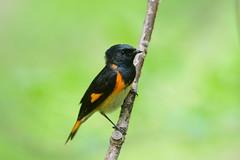 American Redstart (av8s) Tags: ohio nature birds photography nikon wildlife sigma oh warbler songbirds redstart americanredstart perchingbirds mageemarsh d7100 120400mm