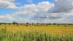 Esperstedter Ried (Tobi NDH) Tags: summer sky nature clouds germany landscape deutschland countryside cow thringen cattle sommer landwirtschaft natur thuringia landschaft 2016 rinderherde kuhherde kyffhuserkreis nordthringen weidehaltung esperstedterried