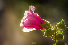 Macro of a Antwerp Hollyhock backlit by the sun. (Bart Ros) Tags: ifttt 500px flower flowers spring pink summer beautiful sun white light macro deventer overijssel pentax k1 nature natural photograph pics warm bokeh tamron green buds petals