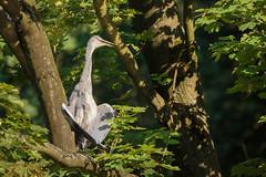 Happy heron (Wessel...) Tags: canon heron kralingen kralingseplas nederland netherlands reiger rotterdam