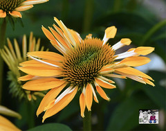 Coneflower Individuality (Vidterry) Tags: coneflower deformed