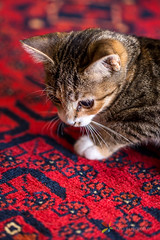 Kitten (grobler.inus) Tags: red pet playing cute animal cat fur carpet photography kitten feline irene lint playful fotoinusgrobler