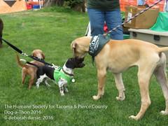DAT2016_Crowd_1138_Sharp (greytoes_99) Tags: agility dat2015 dat2016 event humanesocietytacoma people summer tacoma tacomahs volunteers dog humananimalbond cat lakewood wa us
