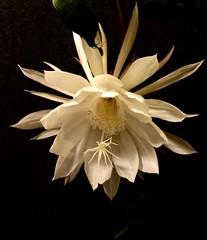 . / Epiphyllum oxypetalum. (janeric2014) Tags:   nightblooming nightbloomingcereus epiphyllumoxypetalum epiphyllum princessofthenight cactusflower cactus whiteflowers whiteflower white