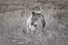 A shy Lioness, Chobe National Park, Botswana (Poulomee Basu) Tags: lion lioness savethelion africa botswana chobe adventure nikon nikond90 wild wildlife wildplanet wildlifehaven wildlifephotography wildlifephotographer actforwildlife conservation blackandwhite animalportrait animalsinblackandwhite