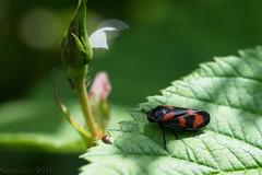 Cercope commun (Cercopis vulnerata) (apzwee) Tags: macroproxy jardin été m06 insectes