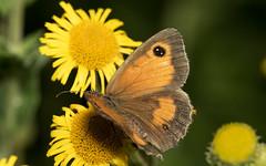 Oranje_Zandoogje_Pyronia_tithonus (bdeclerc) Tags: macro vlinders butterflies lepidoptera
