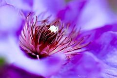 Kiareimaginations 40 (kiareimages1) Tags: flowers clmatite tamines colors colori couleurs colores images immagini imagery imagenes macro macrophotographie macroflowers macrophoto purple