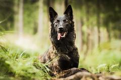 IMG_8490-2 (jabberjinx) Tags: hollandse hollandseherder holsku hollanninpaimenkoira hh dutchshepherd dutchie brindle forest woods