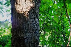 Groot (MikeSpeaks) Tags: helios442 riverbendpark groot tree