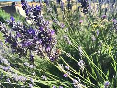Ecosistema (yanitzatorres) Tags: insecto verde morado naturaleza biodiversidad ecosistema verano larioja abejas flor lavanda