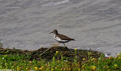 Rare Spotted Sandpiper in Northumberland (Sophiee_webster) Tags: rare rarebird northumberland uk rarebirdnorthumberland rarebirduk spotted sandpiper spottedsandpiper lowhauxley northumberlandwildlifetrust wildlifetrust wildlife nature naturereserve northumberlandcoast