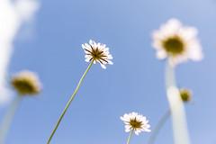 Less is More - Canon Challenge (Caramel Kisses Photography) Tags: canonchallenge lessismore flowers sky blue cloud bokeh canon adelaide australia