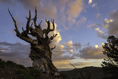 Bristlecone Pine Sunset (scun11) Tags: landscape sunset nature trees california ca bigpinesierras easternsierras bristleconepines pines bristlecone clouds photography color stormclouds westcoast sky hills forest scenic wood evening summer