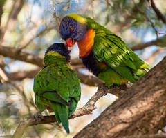 Rainbow Lorikeets getting romantic! (Merrillie) Tags: nikon nature australia birds d5500 nswcentralcoast parrots newsouthwales nsw twoofakind colours wildlife rainbowlorikeet colors outdoors photography woywoy colourful animals fauna centralcoast lorikeet centralcoastnsw