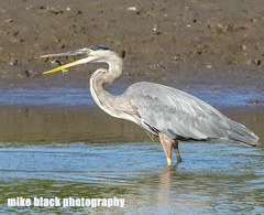 Great Blue Heron Canon 5DSR + Canon 600mm (Mike Black photography) Tags: bird birding nature nj new jersey shore canon 5ds 600mm is usm l lens ocean mike black summer 2016 august