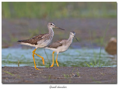 Grand chevalier B / Greater Yellowlegs 153A9911 (salmo52) Tags: oiseaux birds salmo52 alaincharette grandchevalier greateryellowlegs tringamelanoleuca limicoles shorebirds pointeyamachiche scolopacids scolopacidae