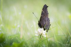 Nymphalis io (>>Marko<<) Tags: hynteinen luonto neitoperhonen perhonen syksy nymphalisio insect suomi finland canon valikuvaus outdoor green butterfly peacockbutterfly