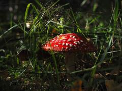 A pop of red (velvetmeadow) Tags: toadstool mushroom fungus autumn fall grass green red inthewoods woodland bentgrass macrophotography nature velvetmeadow