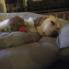 Calvin snuggles his new Chicken (hero dogs) Tags: dog labrador cute therapydog servicedog