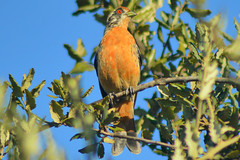 Rara macho (Phytotoma rara) (gabicontrerasb) Tags: aves ave bird birds chile