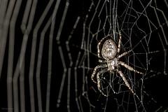 IMG_4935_redWM (Eivind Nielsen) Tags: spider web edderkopp macro flash